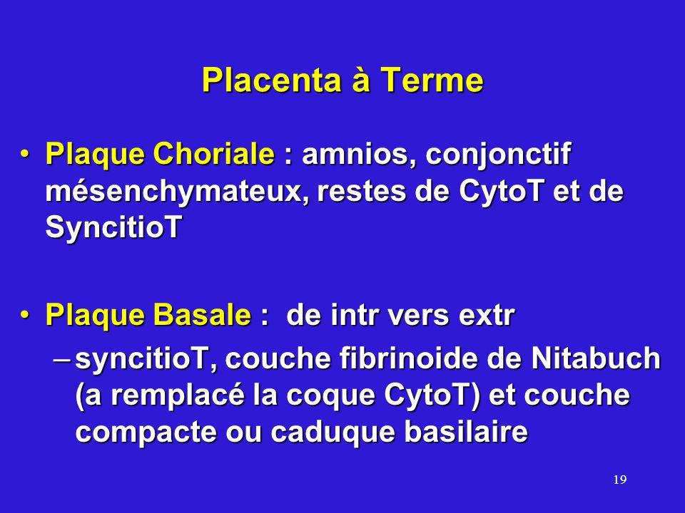 Placenta à Terme Plaque Choriale : amnios, conjonctif mésenchymateux, restes de CytoT et de SyncitioT.