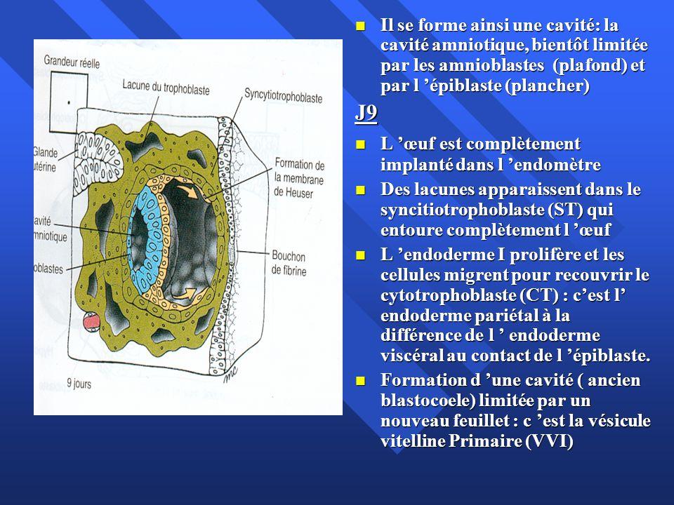 Il se forme ainsi une cavité: la cavité amniotique, bientôt limitée par les amnioblastes (plafond) et par l 'épiblaste (plancher)