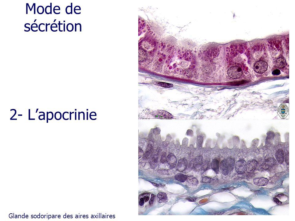 Mode de sécrétion 2- L'apocrinie