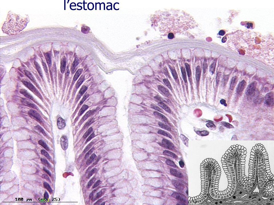 Epithélium sécrétoire : l'estomac