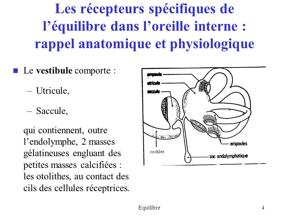 Les récepteurs spécifiques de l'équilibre dans l'oreille interne : rappel anatomique et physiologique