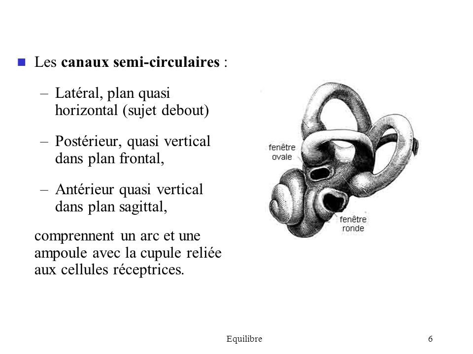 Les canaux semi-circulaires :
