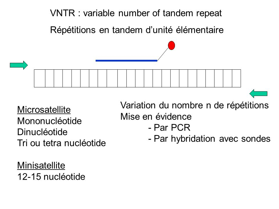VNTR : variable number of tandem repeat