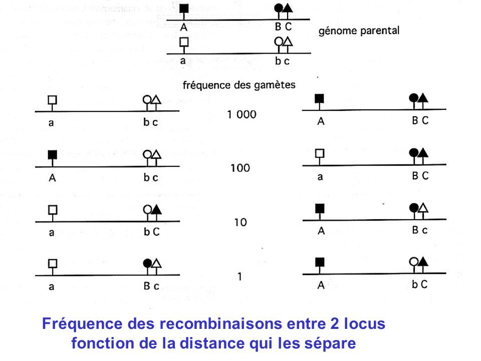 Fréquence des recombinaisons entre 2 locus fonction de la distance qui les sépare