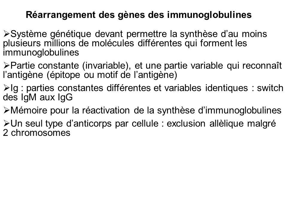 Réarrangement des gènes des immunoglobulines