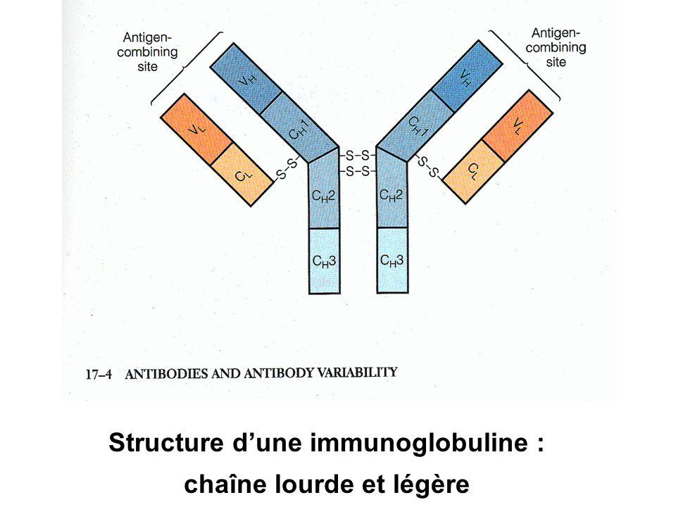 Structure d'une immunoglobuline : chaîne lourde et légère