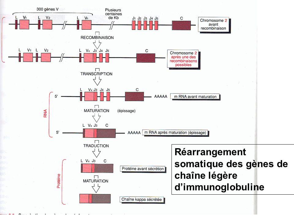 Réarrangement somatique des gènes de chaîne légère d'immunoglobuline