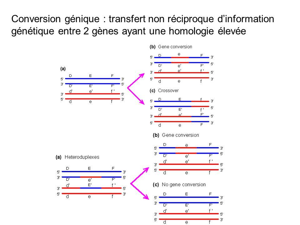Conversion génique : transfert non réciproque d'information génétique entre 2 gènes ayant une homologie élevée