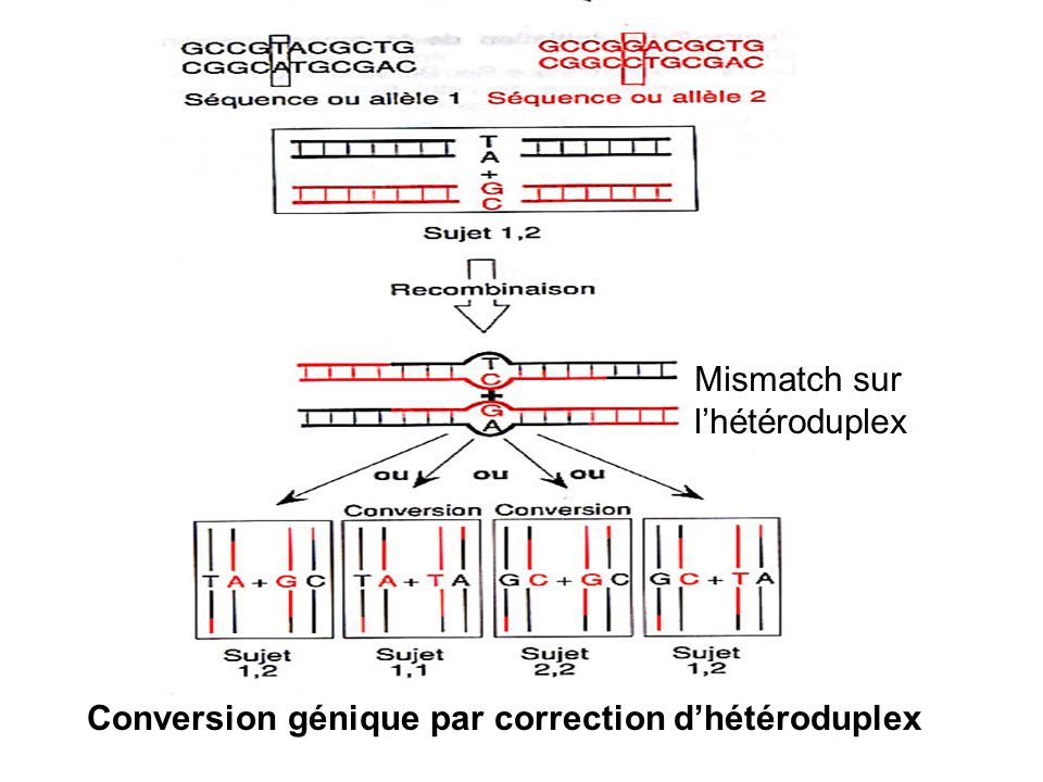 Conversion génique par correction d'hétéroduplex