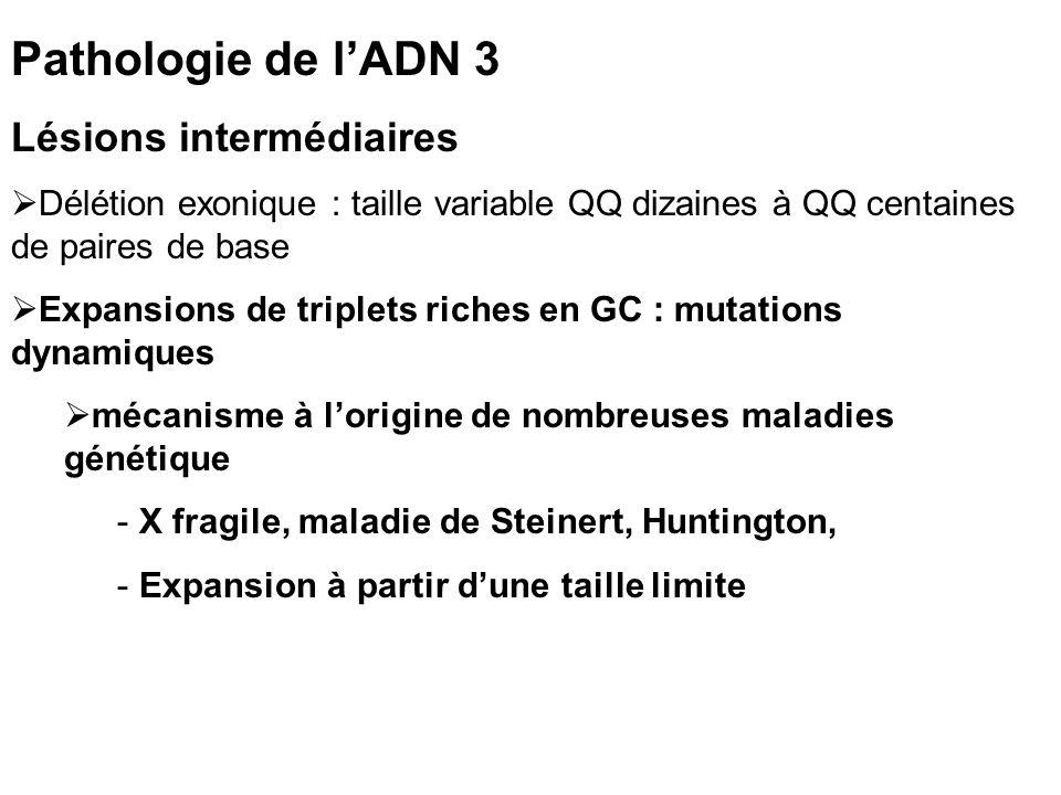 Pathologie de l'ADN 3 Lésions intermédiaires