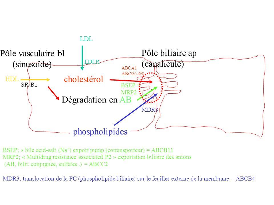 Pôle vasculaire bl Pôle biliaire ap (sinusoïde) (canalicule)