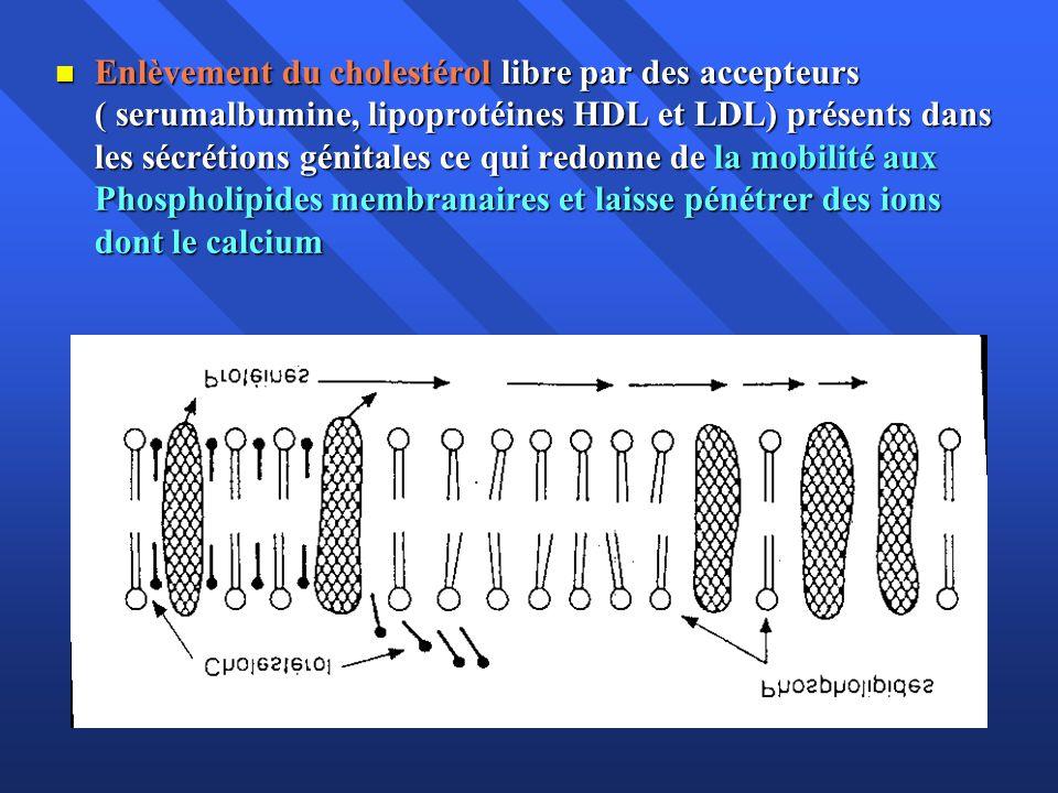 Enlèvement du cholestérol libre par des accepteurs ( serumalbumine, lipoprotéines HDL et LDL) présents dans les sécrétions génitales ce qui redonne de la mobilité aux Phospholipides membranaires et laisse pénétrer des ions dont le calcium