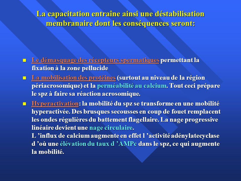 La capacitation entraîne ainsi une déstabilisation membranaire dont les conséquences seront: