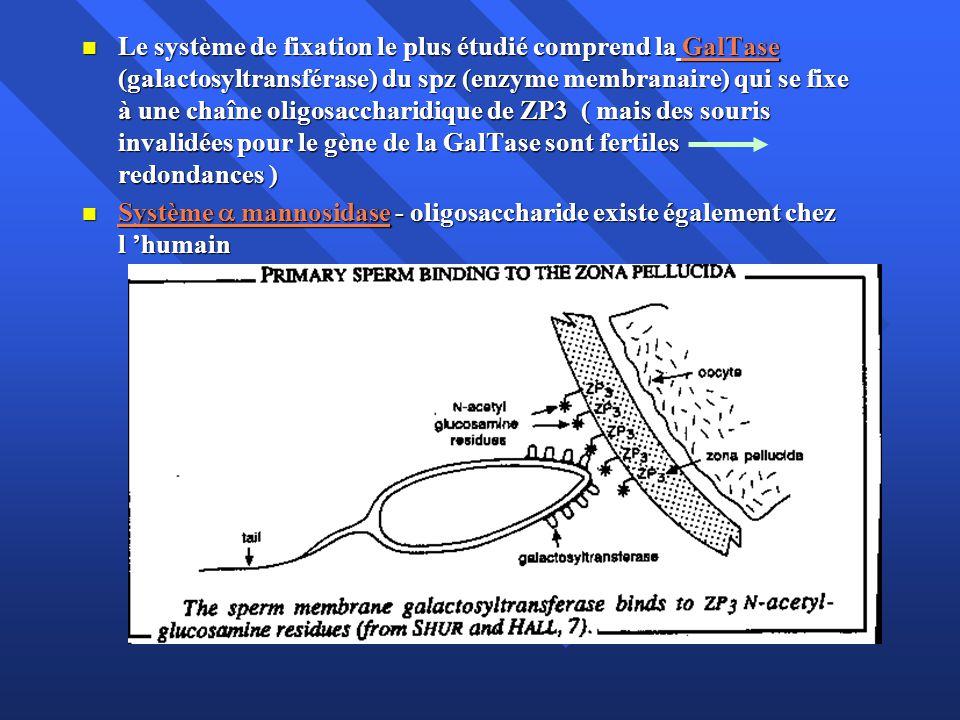 Le système de fixation le plus étudié comprend la GalTase (galactosyltransférase) du spz (enzyme membranaire) qui se fixe à une chaîne oligosaccharidique de ZP3 ( mais des souris invalidées pour le gène de la GalTase sont fertiles redondances )