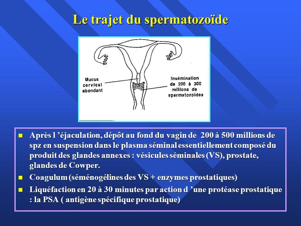 Le trajet du spermatozoïde