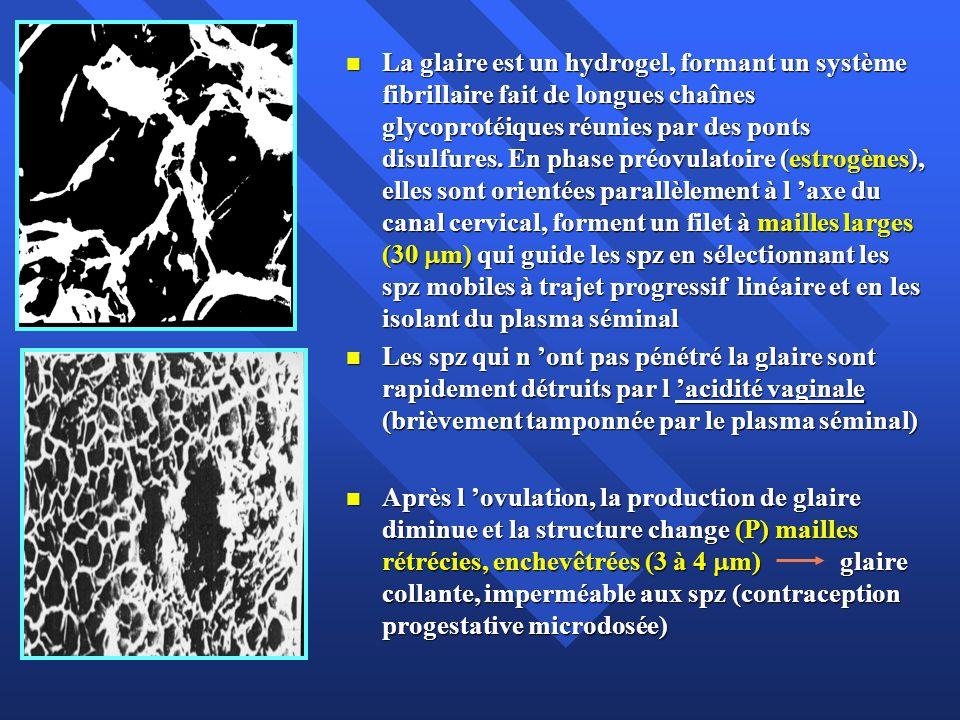 La glaire est un hydrogel, formant un système fibrillaire fait de longues chaînes glycoprotéiques réunies par des ponts disulfures. En phase préovulatoire (estrogènes), elles sont orientées parallèlement à l 'axe du canal cervical, forment un filet à mailles larges (30 m) qui guide les spz en sélectionnant les spz mobiles à trajet progressif linéaire et en les isolant du plasma séminal