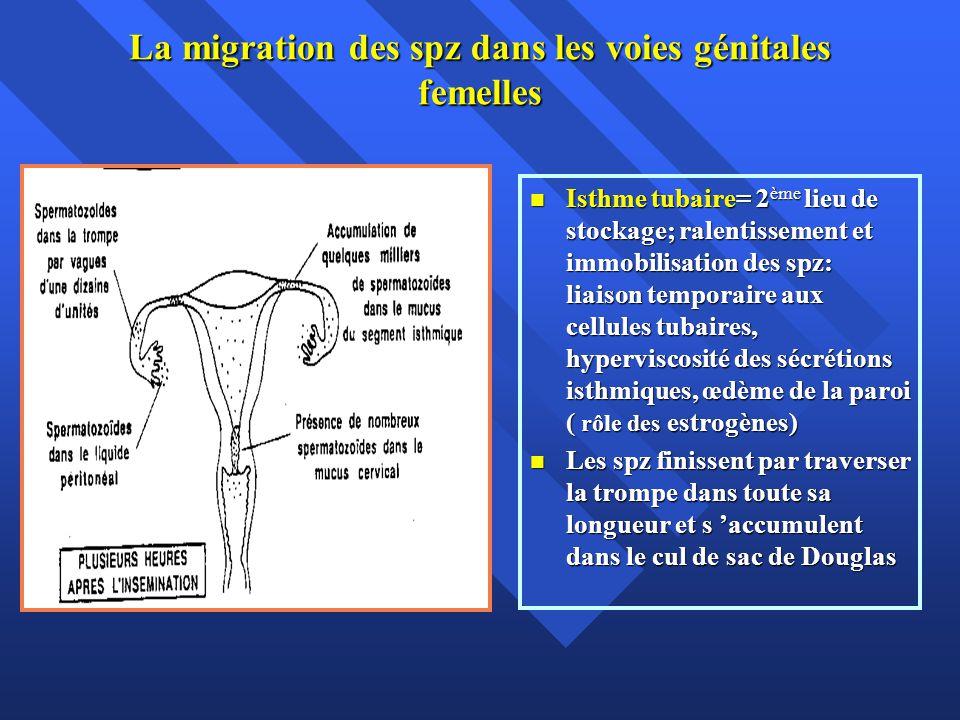 La migration des spz dans les voies génitales femelles