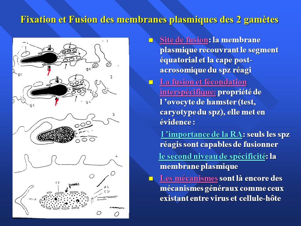 Fixation et Fusion des membranes plasmiques des 2 gamètes
