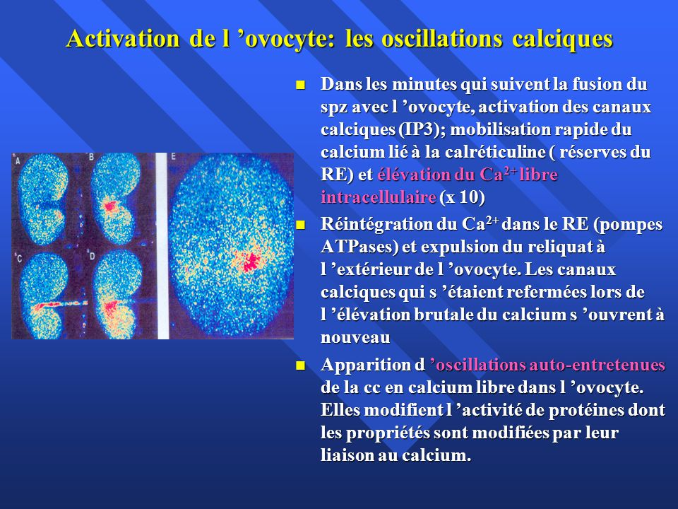 Activation de l 'ovocyte: les oscillations calciques