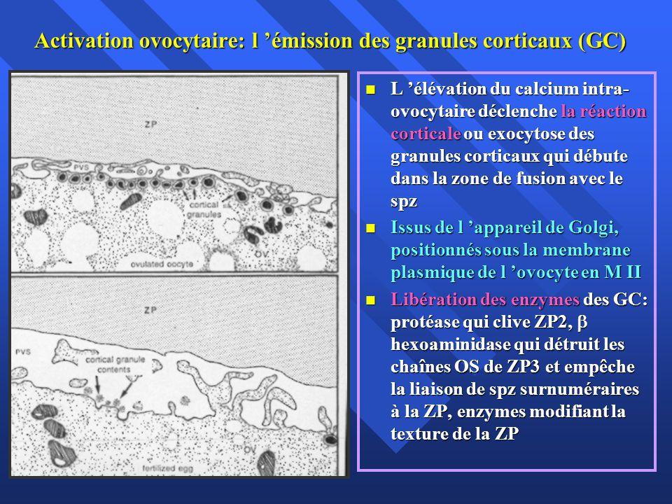 Activation ovocytaire: l 'émission des granules corticaux (GC)
