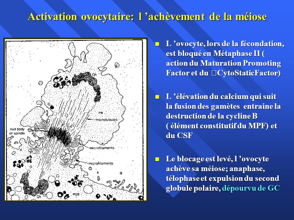 Activation ovocytaire: l 'achèvement de la méiose