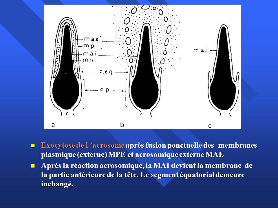 Exocytose de l 'acrosome après fusion ponctuelle des membranes plasmique (externe) MPE et acrosomique externe MAE