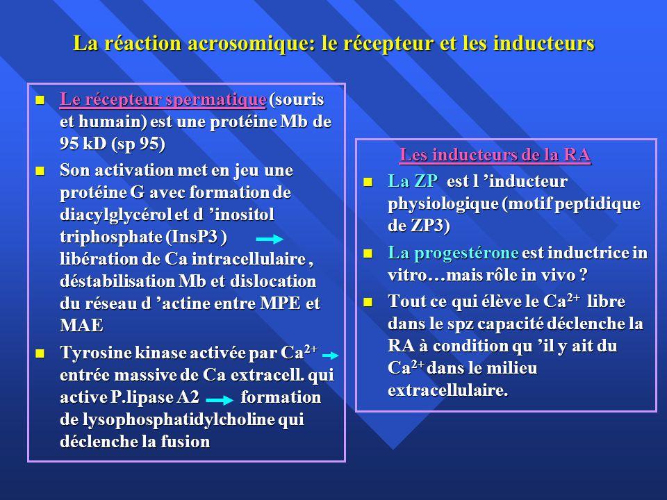 La réaction acrosomique: le récepteur et les inducteurs