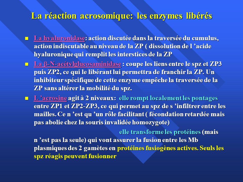 La réaction acrosomique: les enzymes libérés