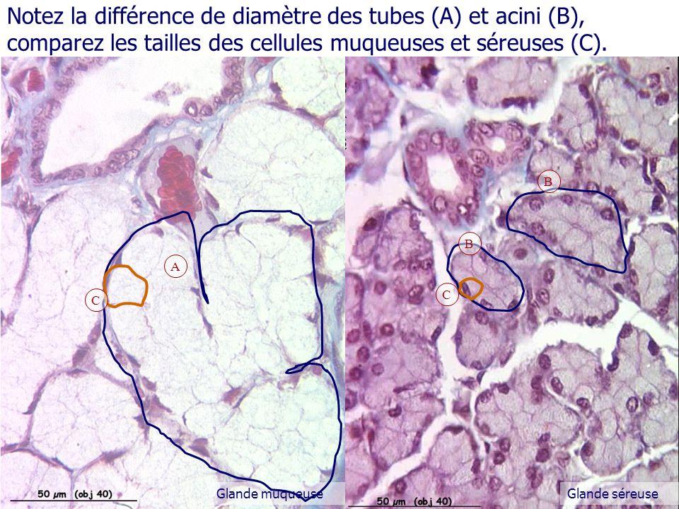 Notez la différence de diamètre des tubes (A) et acini (B), comparez les tailles des cellules muqueuses et séreuses (C).