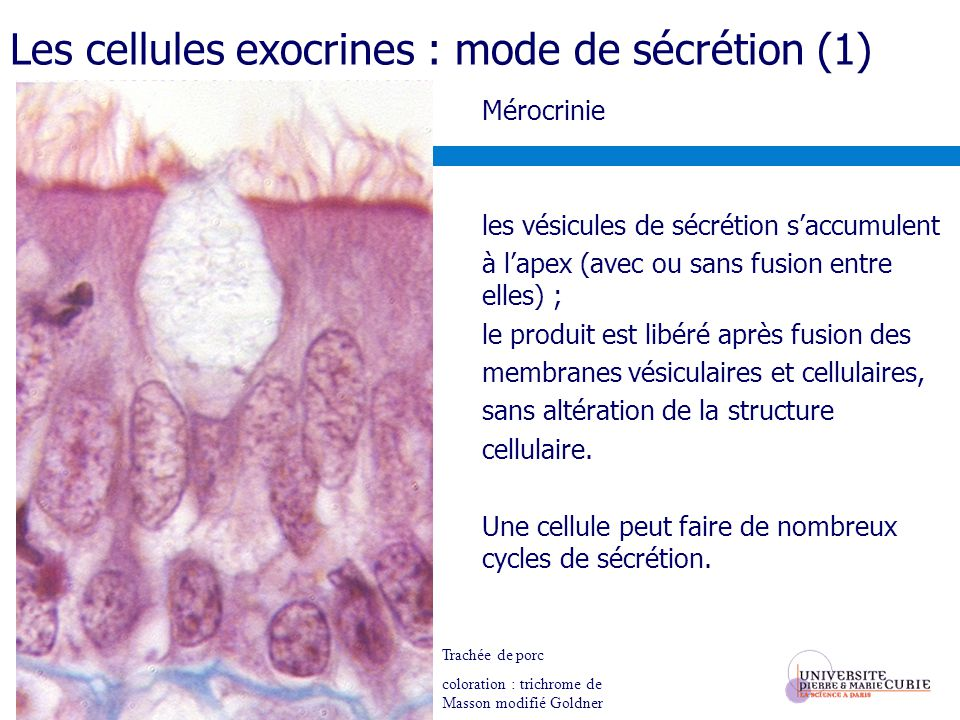 Les cellules exocrines : mode de sécrétion (1)