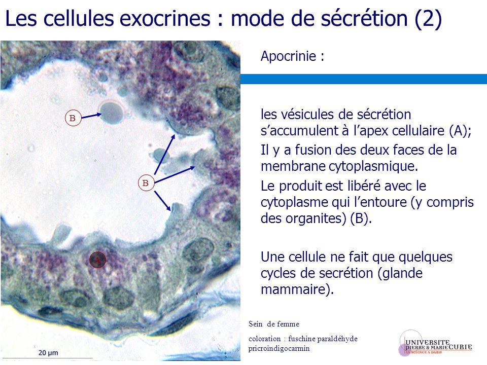 Les cellules exocrines : mode de sécrétion (2)