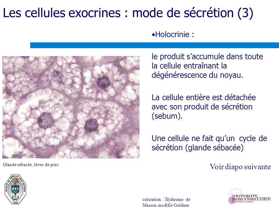 Les cellules exocrines : mode de sécrétion (3)