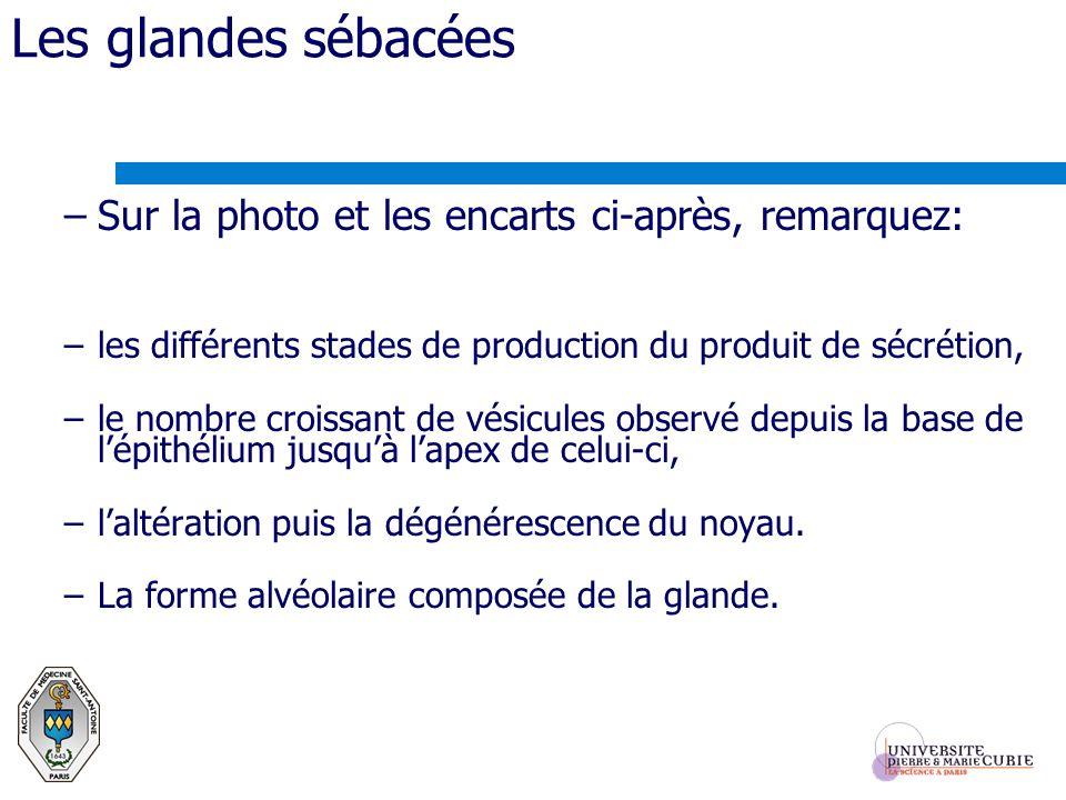 Les glandes sébacées Sur la photo et les encarts ci-après, remarquez: