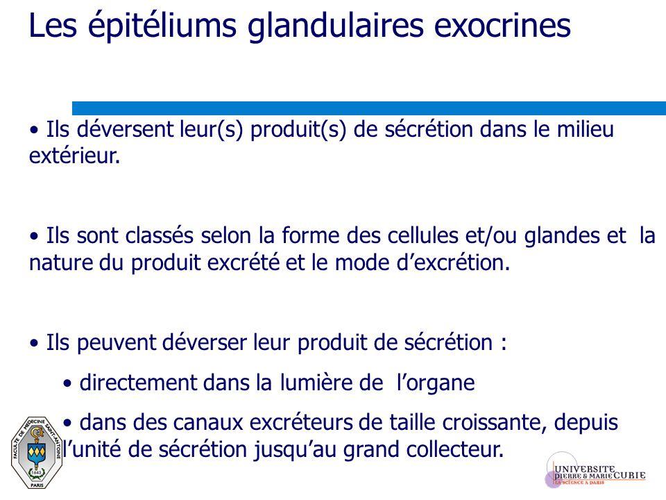 Les épitéliums glandulaires exocrines