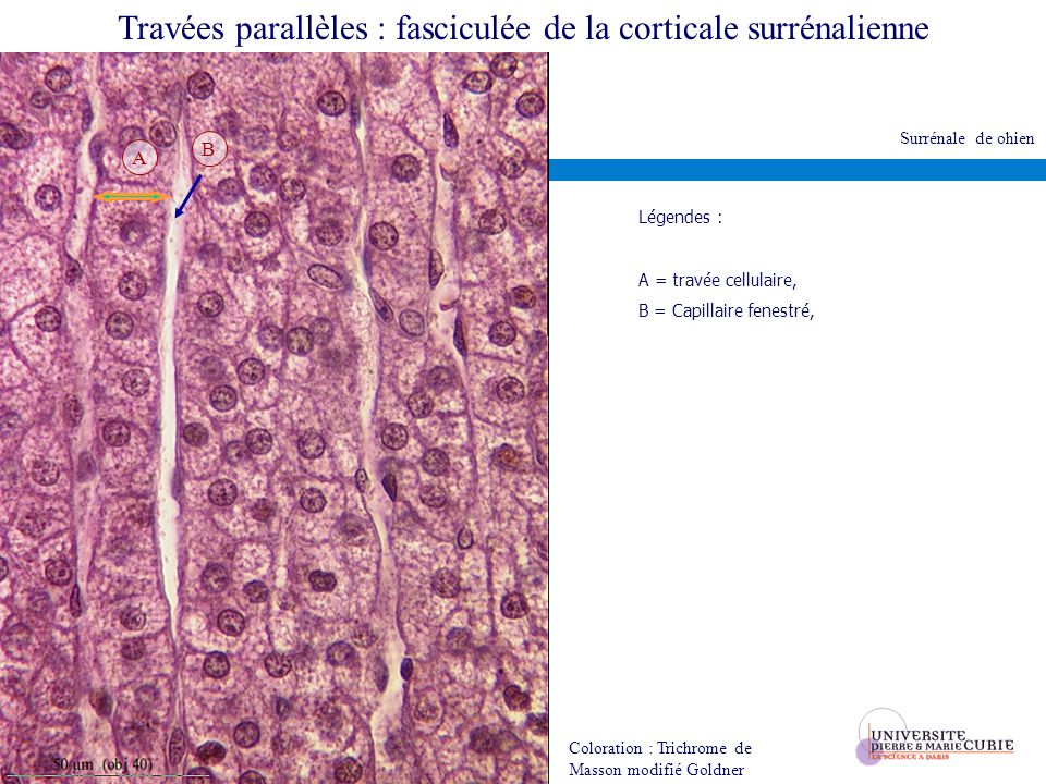 Travées parallèles : fasciculée de la corticale surrénalienne