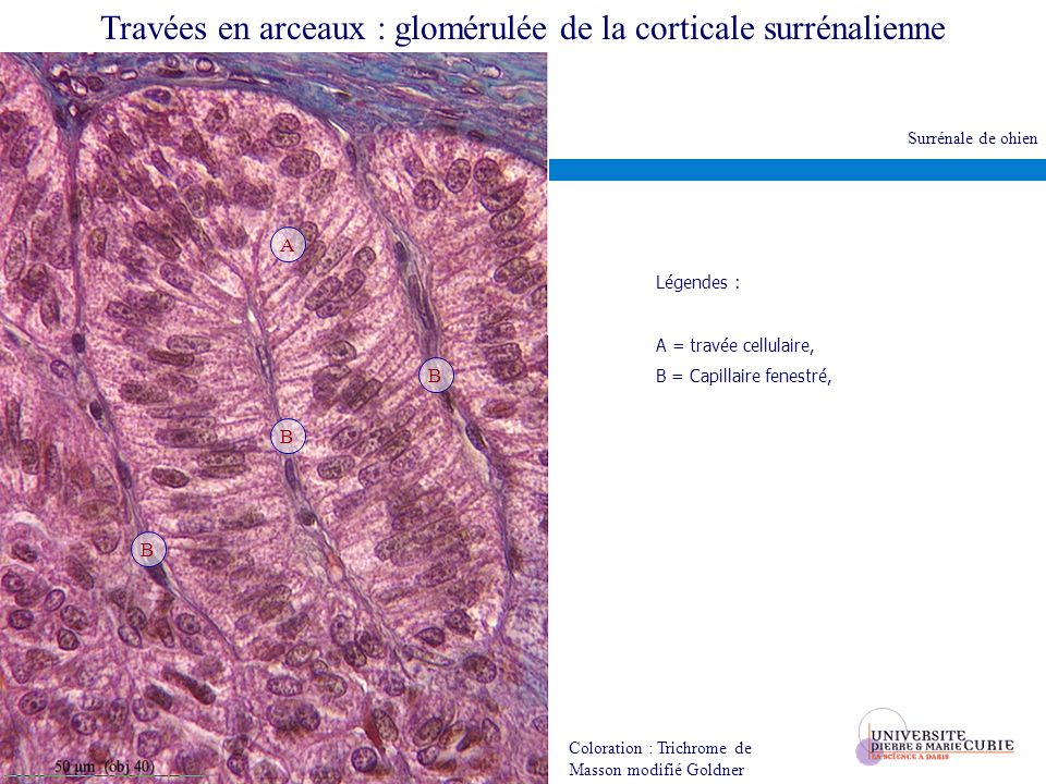 Travées en arceaux : glomérulée de la corticale surrénalienne