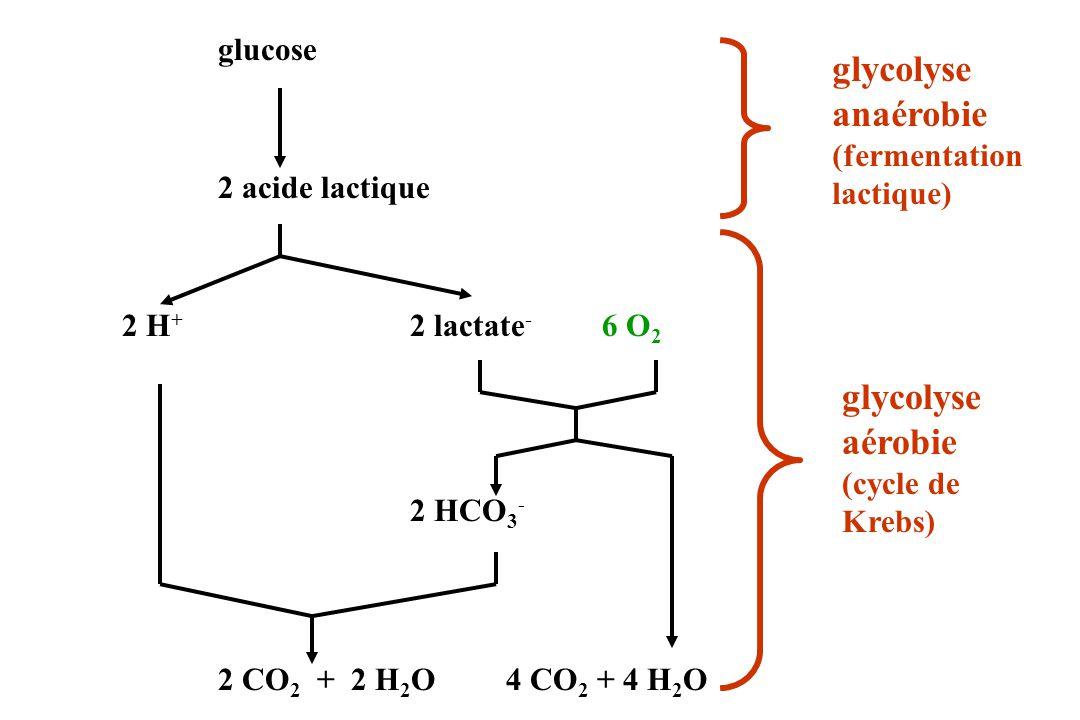 glycolyse anaérobie glycolyse aérobie (fermentation 2 acide lactique