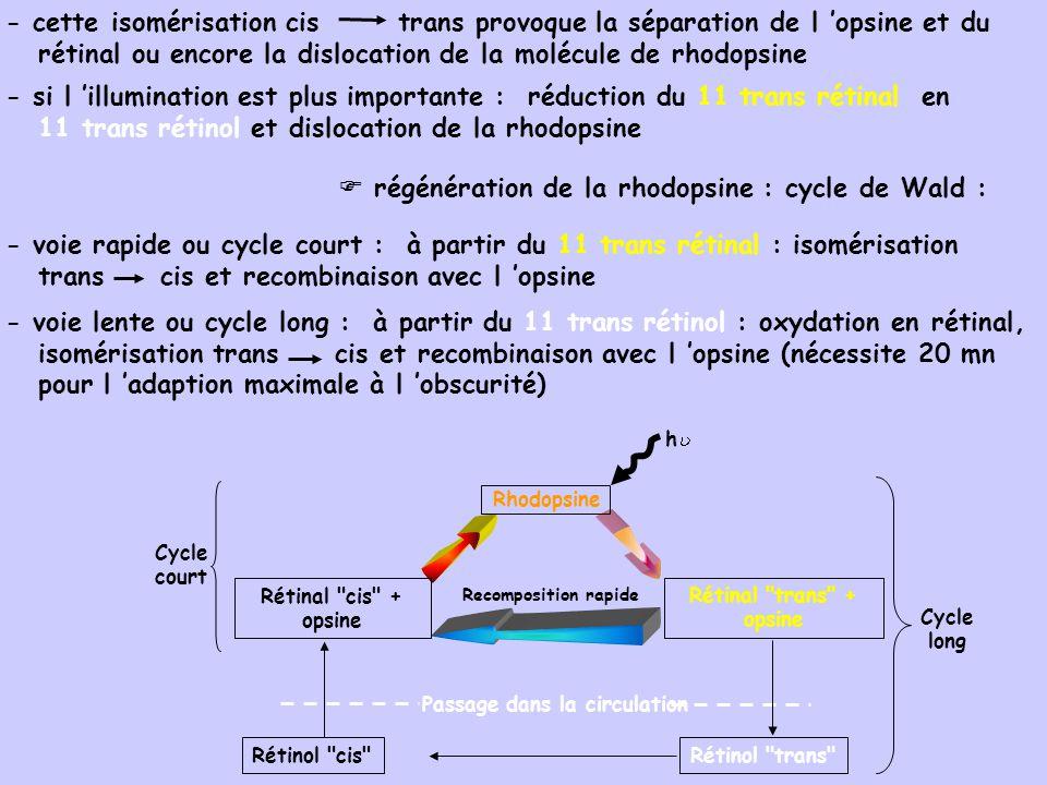  régénération de la rhodopsine : cycle de Wald :
