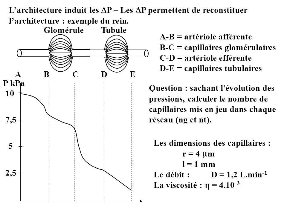 L'architecture induit les P – Les P permettent de reconstituer l'architecture : exemple du rein.