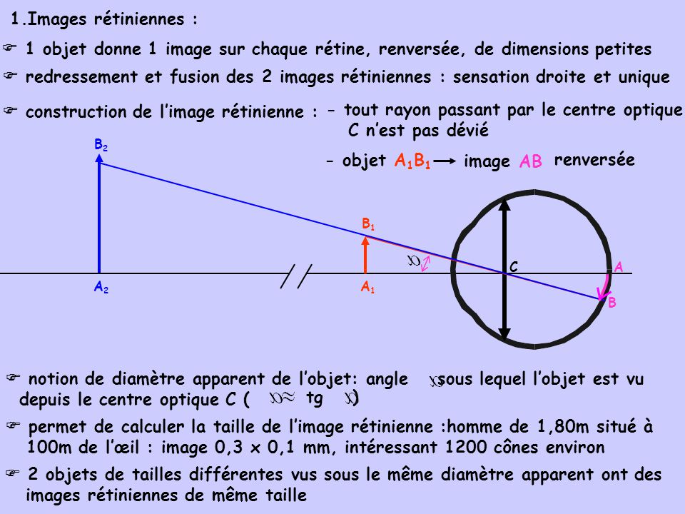  construction de l'image rétinienne :