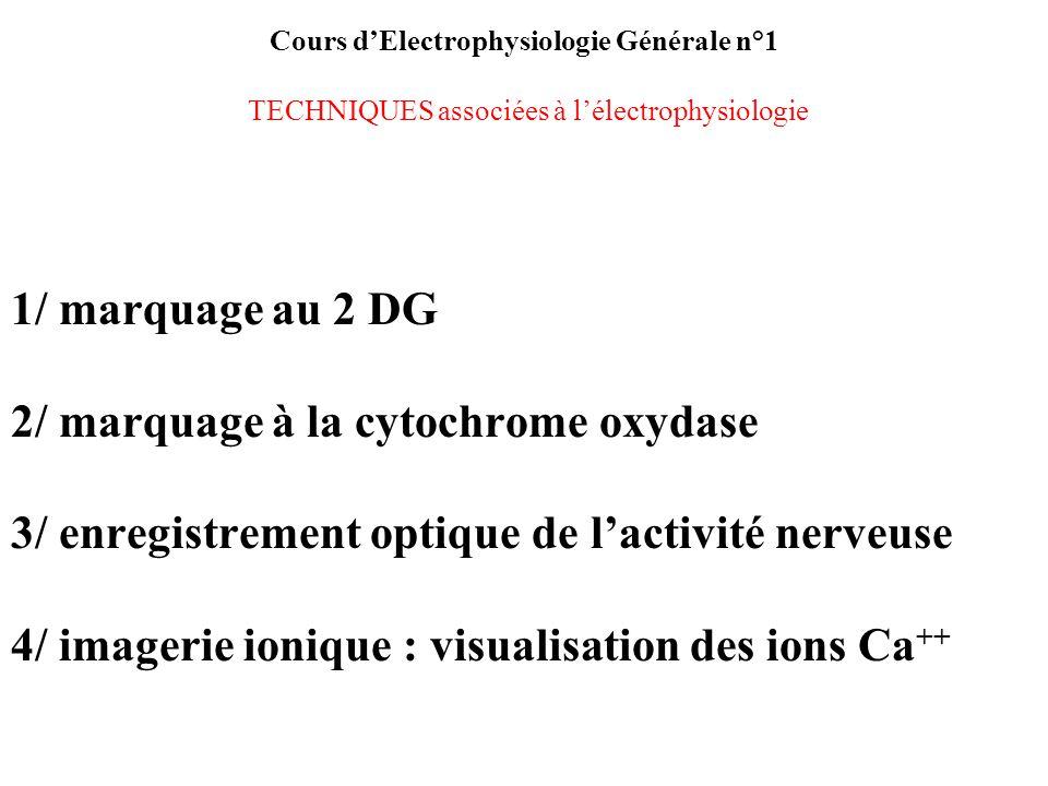2/ marquage à la cytochrome oxydase