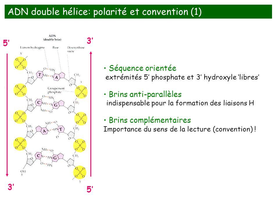 ADN double hélice: polarité et convention (1)