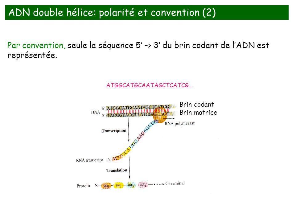 ADN double hélice: polarité et convention (2)