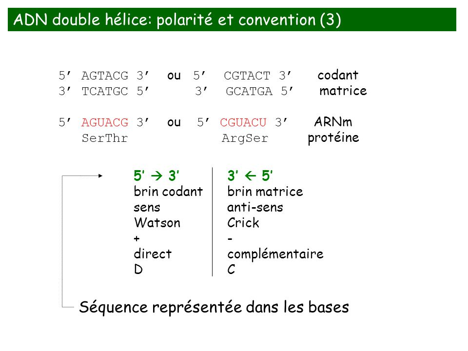 ADN double hélice: polarité et convention (3)