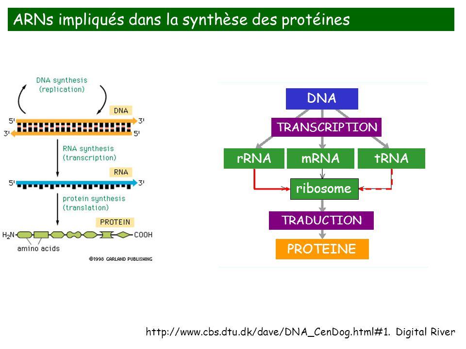 ARNs impliqués dans la synthèse des protéines