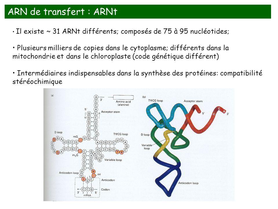 ARN de transfert : ARNt Il existe ~ 31 ARNt différents; composés de 75 à 95 nucléotides;
