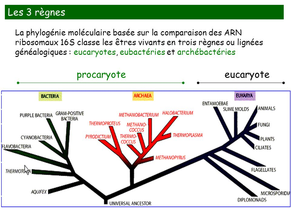 Les 3 règnes procaryote eucaryote