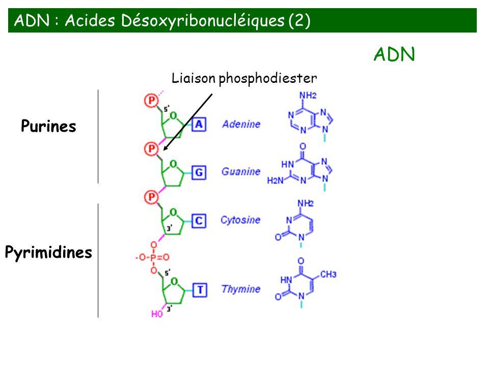 Liaison phosphodiester
