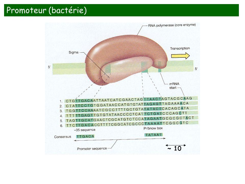 Promoteur (bactérie) ~ 10 The