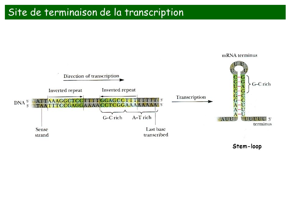 Site de terminaison de la transcription